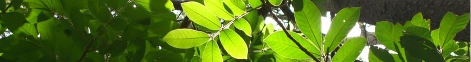 leaves from Las Palmas, El Salvador